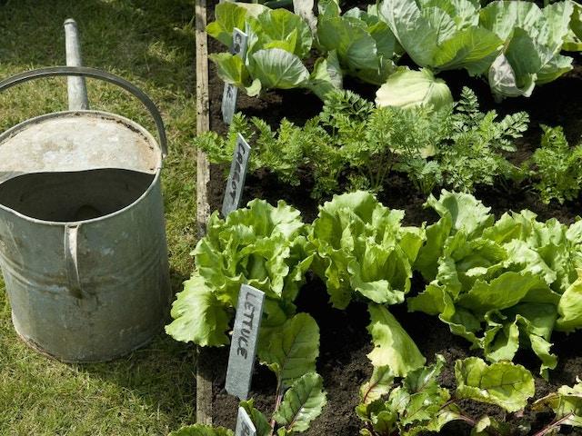 moestuin tuin sla