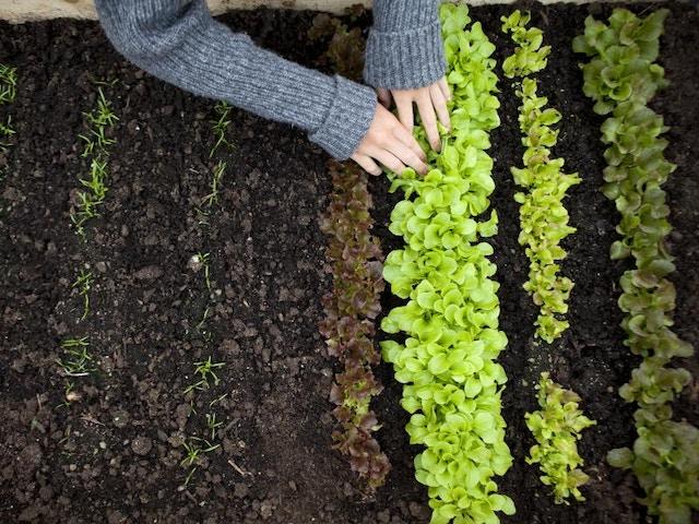 tuin moestuin sla